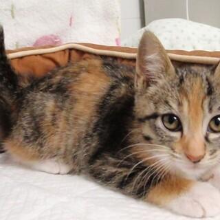 三毛猫2ヶ月 美猫です!