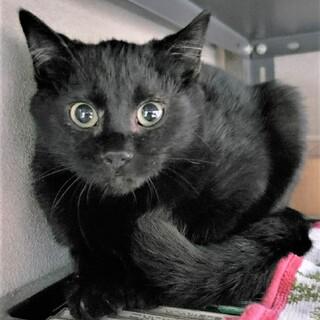 きりっとイケメン黒猫の、さこんくん
