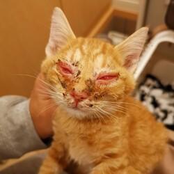 助けを待っていた酷い結膜炎の茶トラの子猫