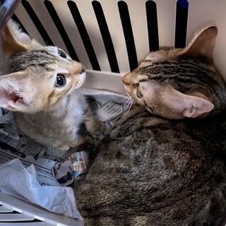 ベンガル猫+ベンガル猫mix子猫