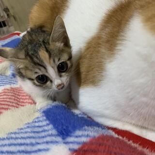 超美猫さんキジ三毛女の子