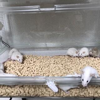 ファンシーマウス♂♀