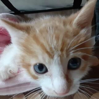 茶白の子猫