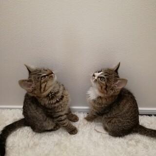 【少し長毛】コロコロまるまる元気な子猫兄妹4匹