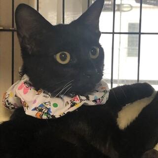 ヤンチャな黒猫!クロム君 里親募集です。