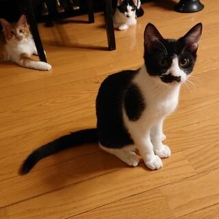 口元の模様がおひげみたいで可愛い白黒仔猫♂