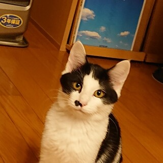 白黒もようの子猫チョビちゃん♂3ヵ月半