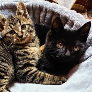ゴロゴロやんちゃ王子・クロ猫3ヶ月