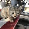 2ヶ月メス猫キジトラちゃん