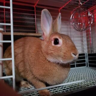 ミニウサギの女の子3歳です(避妊済)