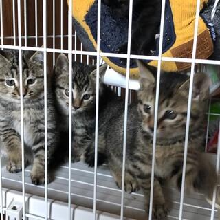 約2ヶ月 キジトラ3匹黒猫1匹の兄妹(交渉中)