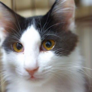 きれいな目と長毛のイケメン子猫  アーサーくん