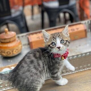 可愛い瞳、人が大好き、キジ白、メス、子猫