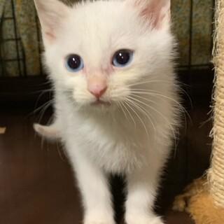 ♪キトンブルーの目ゆきちゃん♪1ヶ月半