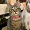 好奇心旺盛なキジ子猫♂(3ヶ月)