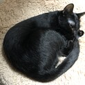 甘えん坊の黒猫トンボ君
