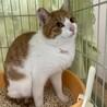 茶白のハナ♂推定1歳、約4キロ