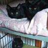 黒猫3兄妹♡ちょっとシャイなリリちゃんです! サムネイル3