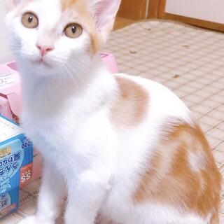 【ヤンバル】元気いっぱい食いしん坊な茶白くん