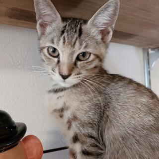 生後3-4ヶ月の子猫の里親さん募集中