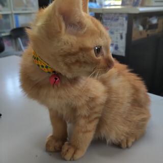 茶トラの子猫の里親募集します。