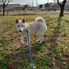 スタイリッシュな日本犬 サムネイル4