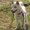 スタイリッシュな日本犬 サムネイル5