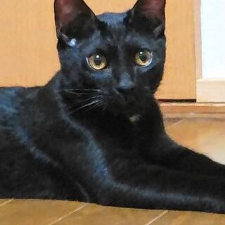 短尾黒猫オスのジジくん