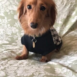 家庭犬練習中のMダックス♀レイ