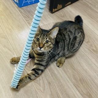 少し臆病で猫好きなキジトラ☆ののちゃん
