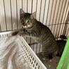 少し臆病で猫好きなキジトラ☆ののちゃん サムネイル2