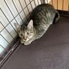 少し臆病で猫好きなキジトラ☆ののちゃん サムネイル3