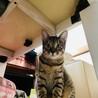 少し臆病で猫好きなキジトラ☆ののちゃん サムネイル7