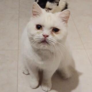 【くた子】好奇心旺盛ならエキゾチック白猫女子