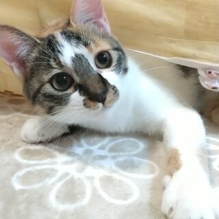 11.29予約制藤井寺保護猫譲渡会参加猫♀三毛