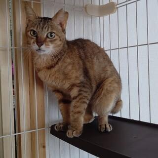 【保護猫】だんご推定6歳♀キジサビ