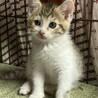 美猫三毛3姉妹 好奇心旺盛な千夏ちゃん 1ヵ月半