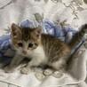 美猫三毛3姉妹 好奇心旺盛な千夏ちゃん 1ヵ月半 サムネイル2