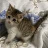 美猫三毛3姉妹 好奇心旺盛な千夏ちゃん 1ヵ月半 サムネイル3