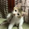 美猫三毛3姉妹 好奇心旺盛な千夏ちゃん 1ヵ月半 サムネイル5