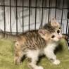 美猫三毛3姉妹 好奇心旺盛な千夏ちゃん 1ヵ月半 サムネイル6