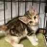 美猫三毛3姉妹 マイペースな千秋ちゃん 1ヵ月半 サムネイル2