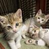美猫三毛3姉妹 マイペースな千秋ちゃん 1ヵ月半 サムネイル6