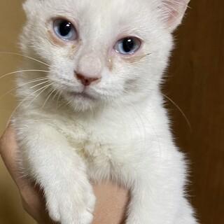 甘えん坊白猫アーチー♂3か月