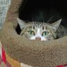あおみどり色の澄んだ瞳が美しい♡シャイなおとな猫 サムネイル3