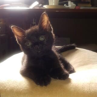 黒、眼が印象的、美猫、しっぽまっすぐ、コキちゃん