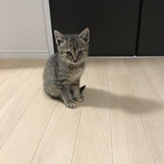 生後一か月半のサビキジトラの子猫ちゃん