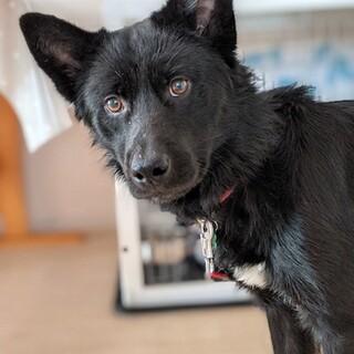 人馴れ進化中、優しい黒犬男子 プラモ