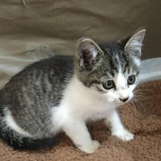 甘えん坊な可愛い サバ白の子猫