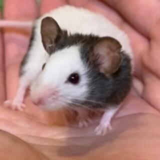 保護パンダマウス♂ ロイくん